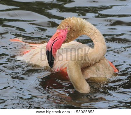 Greater Flamingo partially submerged while taking a bath in a zoo pond