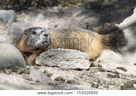 Yellow-bellied marmot lying at burrow with scat
