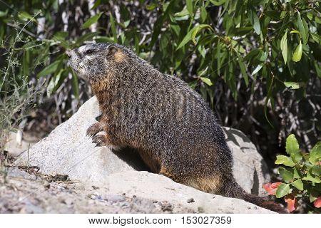 Yellow-bellied marmot iat burrow with narrow leaf cottonwood tree