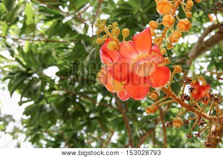 Cannon ball flower Beautiful (Couroupita guianensis Aubl) Sal Tree of India The plant in Buddhism history