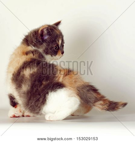 Kitten of breed Selkirk Rex tricolor color on a light gray background in the Studio cute pet for family and children