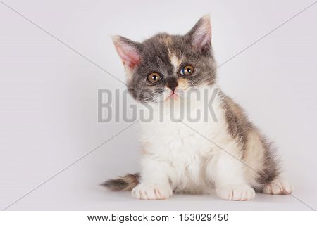 Cute kitten breed Selkirk Rex cat sitting on a light gray background in Studio and looking in amazement and curiosity
