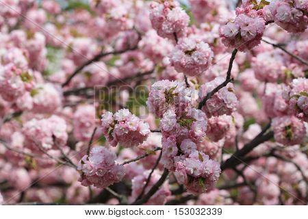 Cherry Blossom Flowers In Garden At Japan Mint
