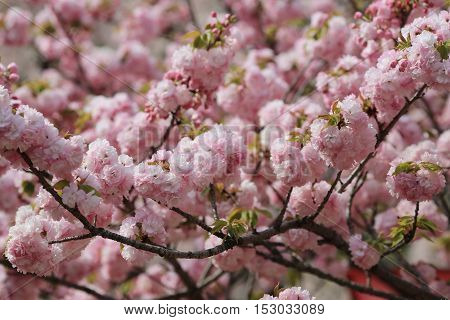 Cherry Blossom Flowers In Garden At Japan Mint,
