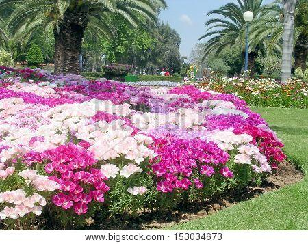 Petunia flowers in park of Ramat Gan Israel April 16 2005