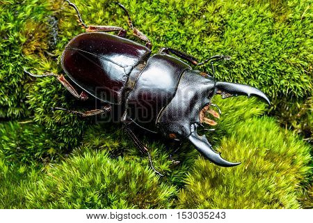 The Stag Beetle