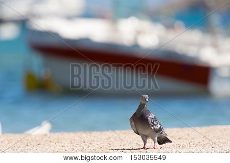Pigeon against a colorful background of a port in Porto Rafti in Greece.