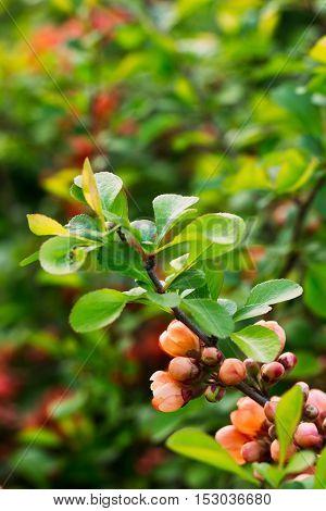 Branch Chaenomeles Close Up