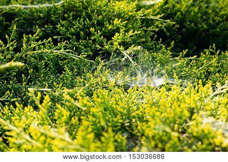 Thuja Branches Bush Cypress Or
