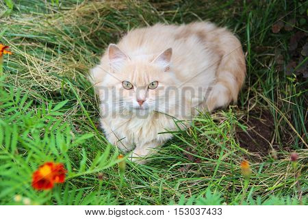 A striped red and white (ginger) stray cat  resting on the green grass in public park