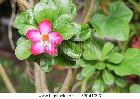 desert rose Tropical flower on a tree or Impala Lily beautiful Pink adenium the garden.