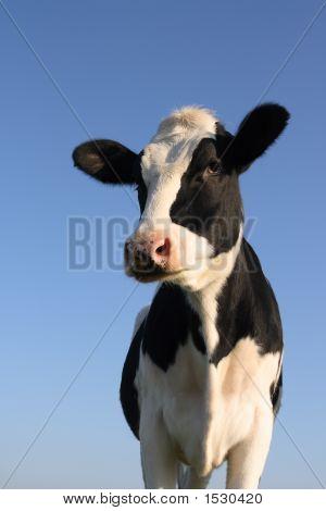 Attentive Cow