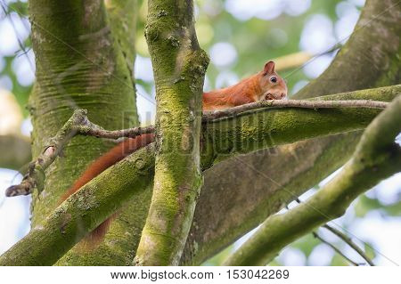 Squirrel eats nuts in a large tree