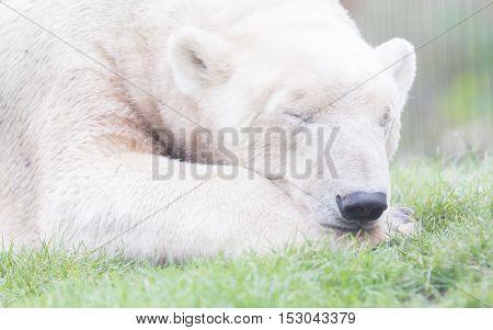 Funny Close-up Of A Polarbear (icebear)