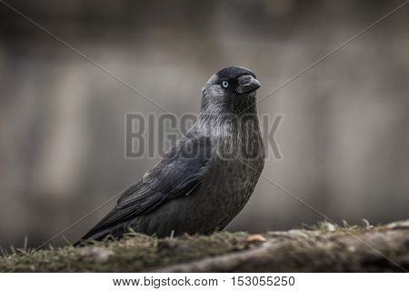 Closeup of a young crow with light blue eyes sitting on the ground.