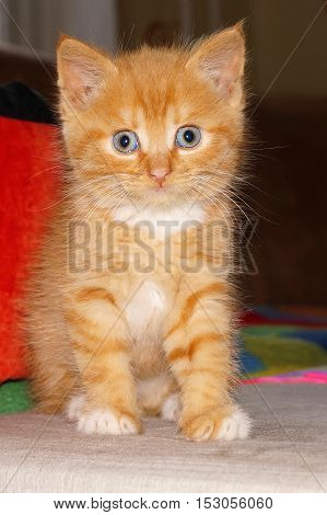 the little orange kitten with blue eyes, fluffy, striped baby cat