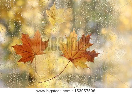 Maple leaves stuck to the window of the wet rain drops / golden autumn