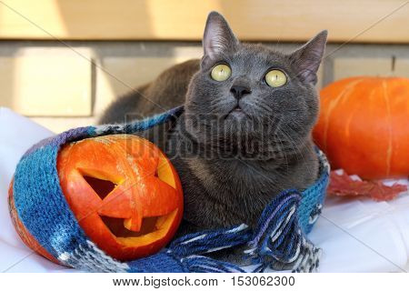 cat with smiling pumpkin and warm scarf / warming festive atmosphere