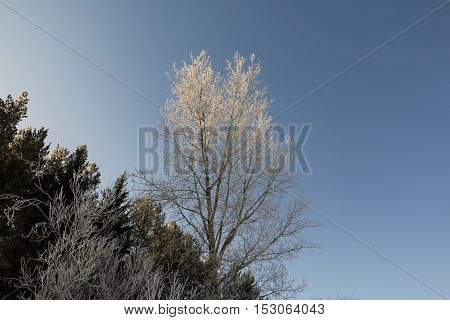 Tree And Snow In A Winter Day