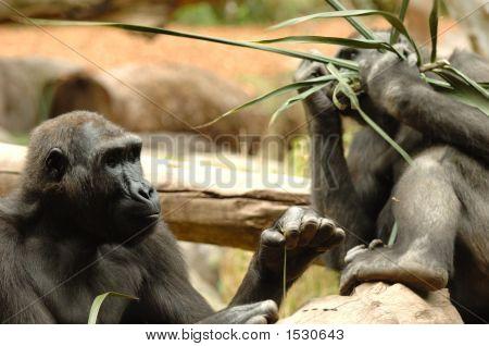 Ape Eating
