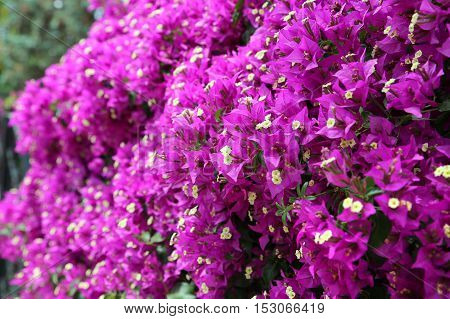 Beautiful bright blooming bougainvillea branches close up
