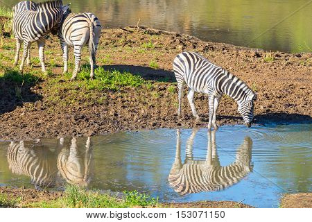 Herd of Zebras drinking from Shingwedzi river in the Kruger National Park major travel destination in South Africa.