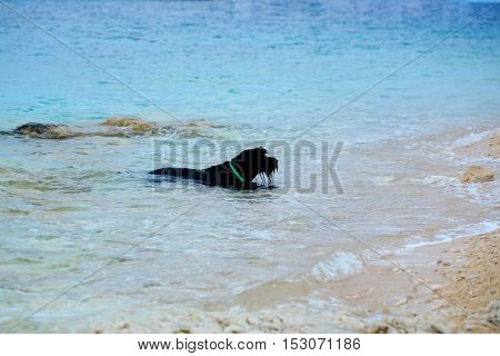 Black dog pet swims in blue sea on pebble beach on sunny summer day