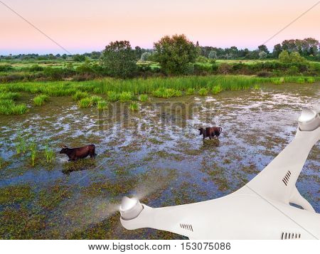 Close-up of drone flying above swamps with water bulls