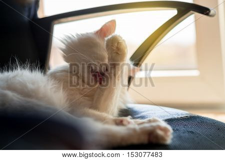 white cat licking lying on chair in home
