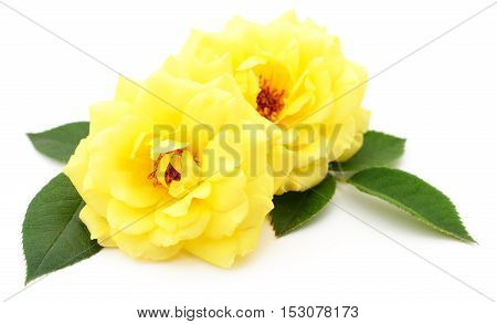 Two beautiful yellow roses on a white background.