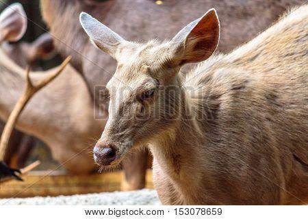 Wonderful  hornless deer in evergreen forest area