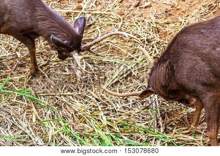 Two Fighting deer with its horned head