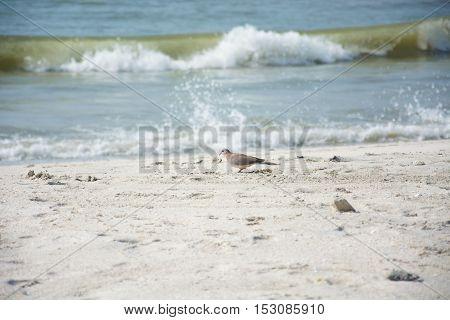 small bird walks on the beach of the Persian Gulf,