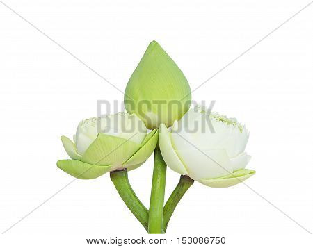 White lotus isolated on white background. Thailand.
