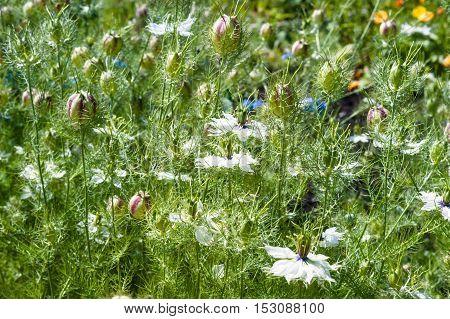 Nigella seed capsule, Nigella sativa. Love-in-the-mist in the garden