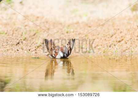 Male house sparrows bathing in nature water