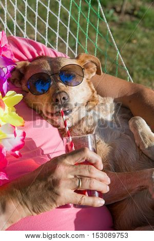 Dog with sunglasses and flowers in hammock drinking with drinking straw