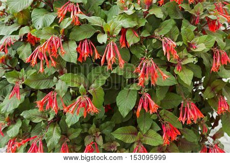 Red flowers of Honeysuckle Fuchsia, also called Firecracker Fuchsia, Fuchsia Thalia (Fuchsia triphylla) blossoming in Autumn in Austria, Europe