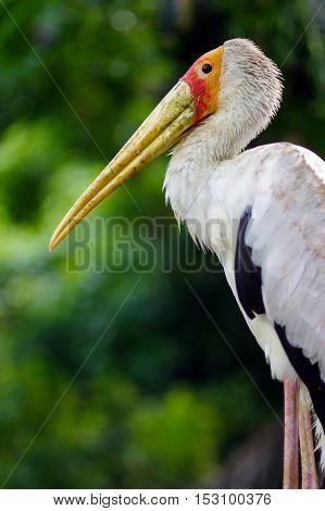 a white stork sitting on bridge railings ciconia at rainy day. stork.