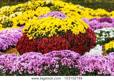 Autumn Chrysanthemum Exhibition In Kiev, Ukraine, 2016
