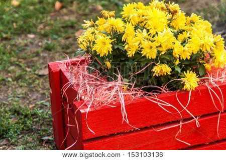 Yellow Chrysanthemum In A Red Wooden Box In The Garden