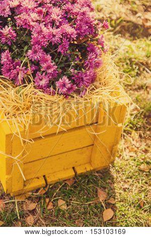 Purple Chrysanthemums In Yellow Wooden Box Effect Instagram