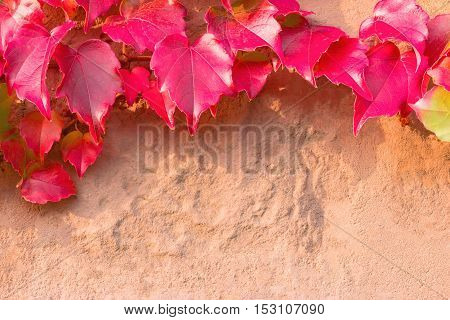 Fall background: creeper branch with deep red leaves on the sandstone wall