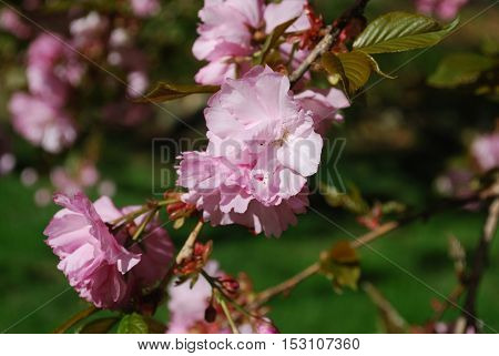 Nothing is like the flowering cherry blossoms found in spring time in Washington DC.