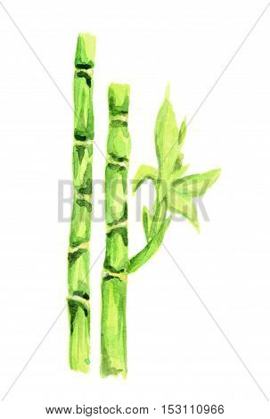 Isolated watercolor bamboo. Tropical exotic asian tree for decoration.