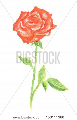 Isolated watercolor red rose on white background. Beautiful and gentle flower. Romantic decoration.