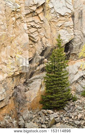 A spruce growing on rocks in Rocky mountains in Colorado