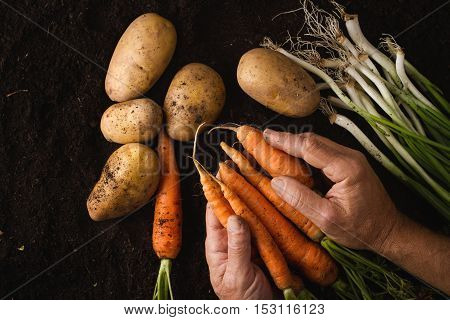 Top view of man hands holding freshly harvested carrots above black soil texture near green onion and potatoes