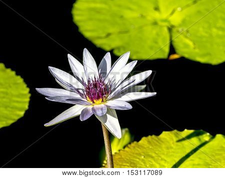 Nymphaeaceae is a family of flowering plants. Members of this family are commonly called water lilies and live as rhizomatous aquatic herbs in temperate and tropical climates around the world.