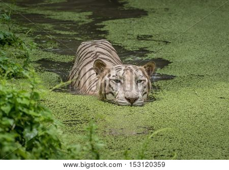 White Bengal tiger swims in water of a swamp at a tiger reserve in India.